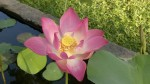 Non-Attachement: Lotus Flower